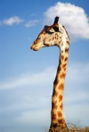 long_neck